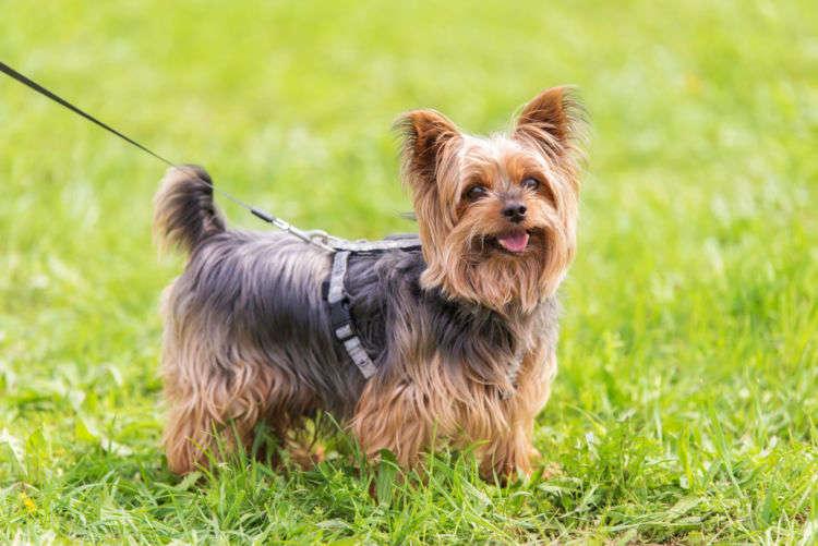 犬の理想的な散歩の回数は? 小型犬でも毎日の散歩が理想