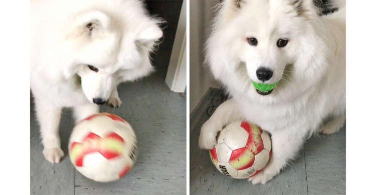 """【まさかの""""二刀流""""】なぜか手だけでボール遊びをするサモエドさん。そこには可愛い理由がありました♪"""