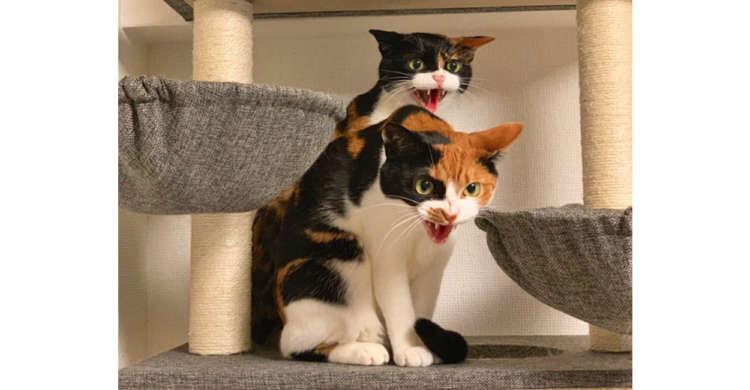 「やめるニャーー!!」三毛猫コンビが掃除機に猛抗議! …でもプンプンした様子がまた可愛かった(笑)