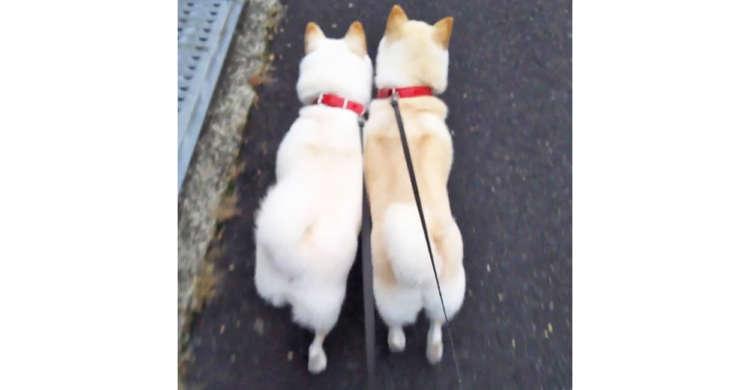 真っ白なお尻をフリフリさせて「密着♡お散歩」する白柴コンビ → でも結末は…(´・ω・`)