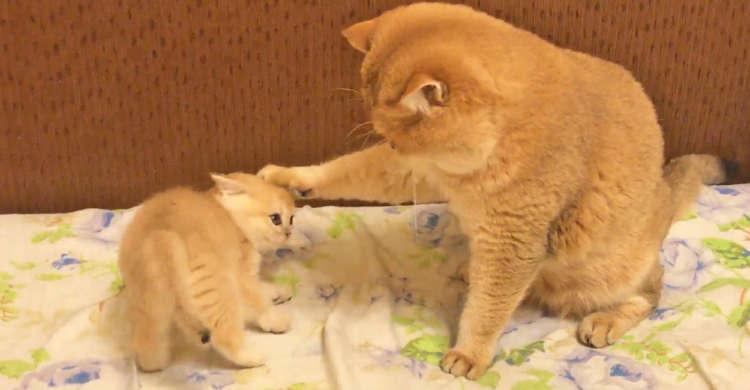 【空気が読めるタイプ】元気よく構ってアピールをする子猫 → でもママに言い聞かせられると…♪