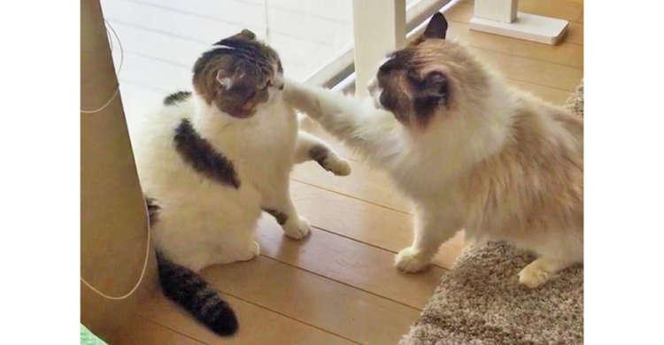 速すぎてスローモーションに見える!? 驚くべき速度で猫パンチを放つニャンコたちに、つい笑っちゃう♪