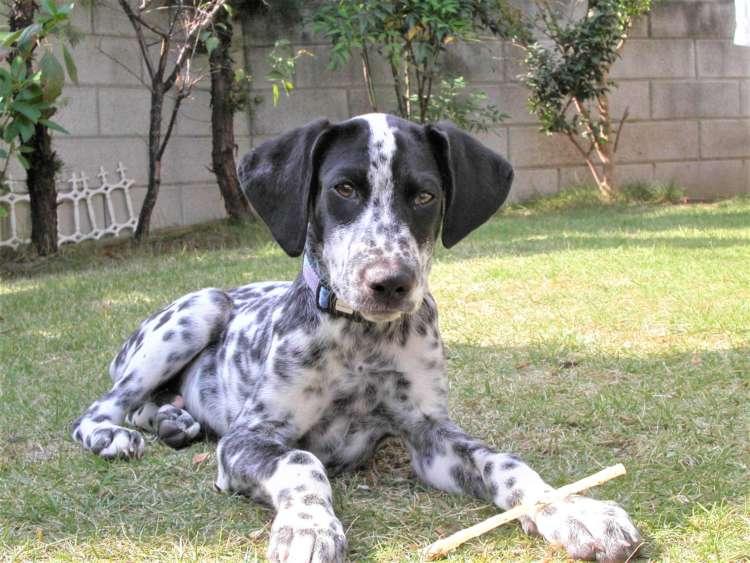 犬 ぬいぐるみ ダルメシアン オーダーメイド 白黒インう