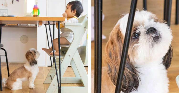 【テーブル下の見守り隊】隙間からあつい視線と表情を向け、妹ちゃんのお食事タイムを見守るワンコ…♡