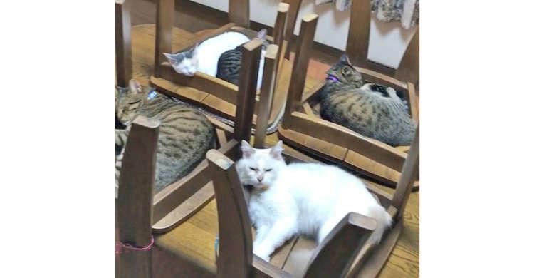 床掃除のためテーブルに上げられた4脚のイス。そこは大盛況の、猫式ベッドハウスなのでした(*´∀`)