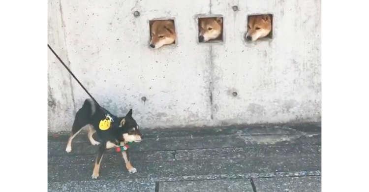 【赤い三連星】壁から柴犬たちがコンニチハ♪ その可愛さに、お散歩する黒柴さんも興味津々(*´∀`)