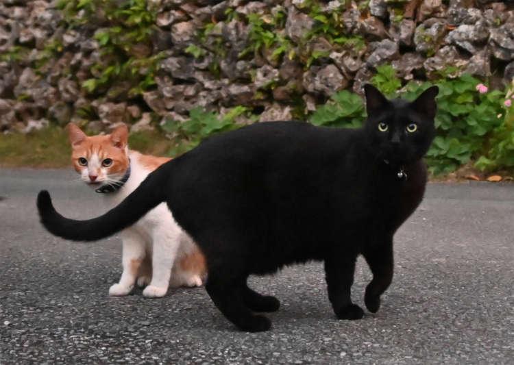南国生まれの猫でも豊満ボディのクロちゃん