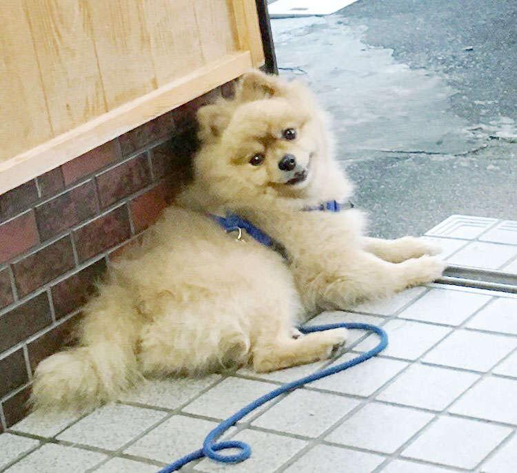 犬 ぬいぐるみ オーダーメイド ポメラニアン オーダーメイドぬいぐるみ PECOHug ペコハグ