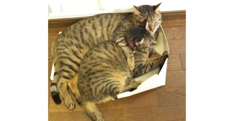体をはみ出しながらイチャイチャするキジトラ姉弟。2匹の愛情は、箱では受け止めきれないのでした♡