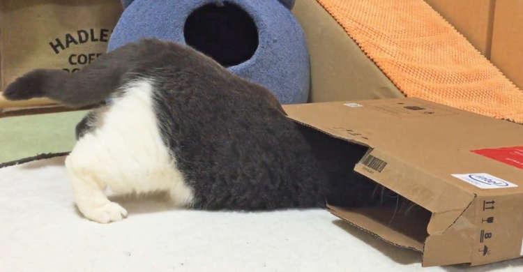 狭いダンボール箱に、一生懸命に入ろうとするニャンコさん! でもお尻が邪魔をして…(ノω`*) 20秒