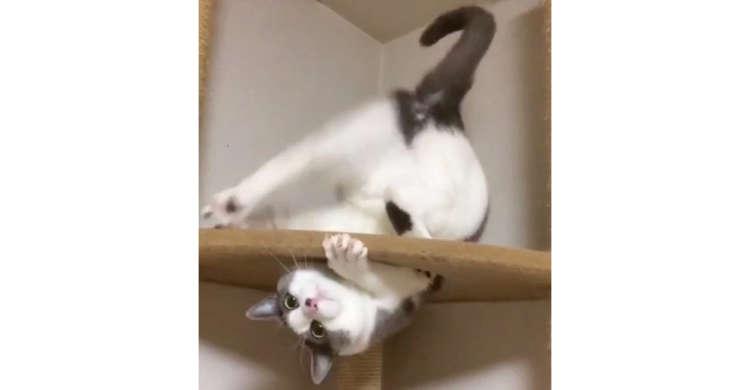 キャットタワーの上で、逆さま!? アクロバティックな尻尾遊びをするニャンコが可愛かった(*´∀`*)