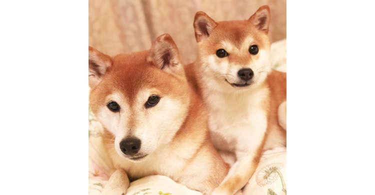 まるで親子のように寄りそう柴犬兄妹。ほんわかな雰囲気に包まれた2匹に、心から癒やされる(*´ェ`*)