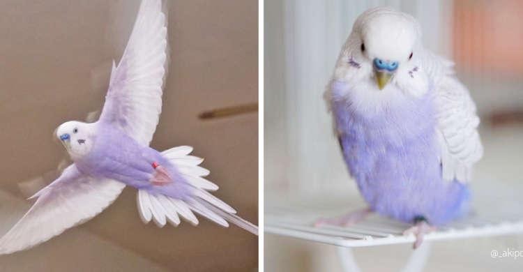 やさしい薄紫に心落ち着く…♪ 可愛さと美しさが合わさった、ライラックのセキセイインコさんたち。8枚