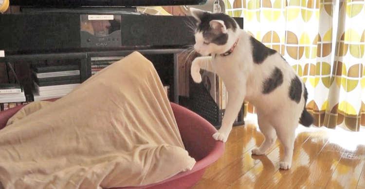 """「出てきにゃさい」猫さんがブランケットに潜む""""謎の相手""""と戦うッ! 懸命にニャンニャンする姿が…♪"""
