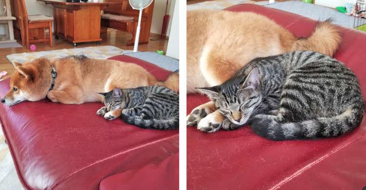 【優しさでいっぱい】妹ネコを起こさないよう、お昼寝が終わってもジッと動かない兄ワンコ…♪(3枚)