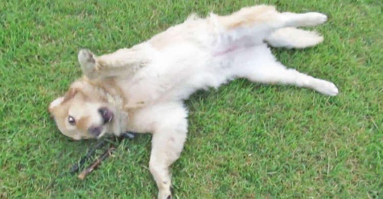 「ひゃぁぁ芝生だぁぁッ」緑の絨毯に大興奮のワンコ! 何度もゴロゴロしてはしゃぐ姿がかわいかった♡