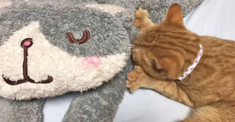 ぬいぐるみに何度もフミフミ・チュパチュパ。甘えん坊モード全開になった「大きな赤ちゃん猫」(*'∀')