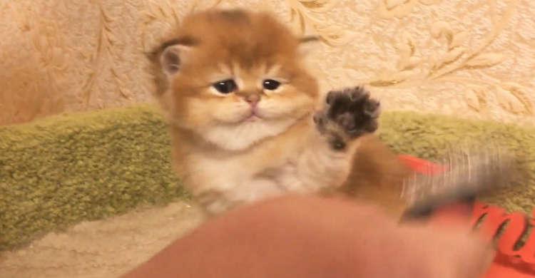 子猫ちゃんへブラッシング開始♪ …ところが「かわいい抵抗」をされちゃうのでした(ノ´∀`*) 30秒