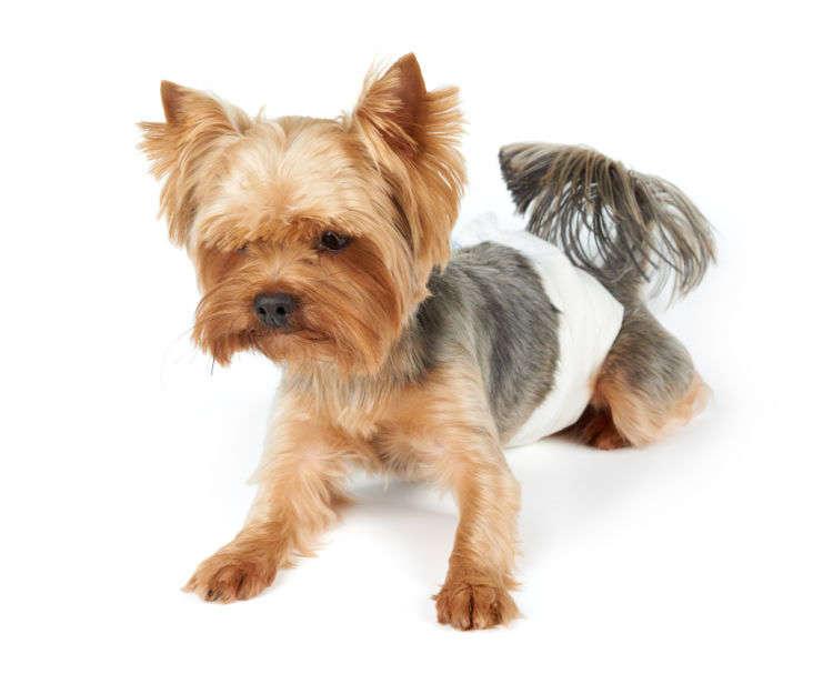 犬の生理は生後6~10ヶ月頃からスタート。そのサイクル・期間は?