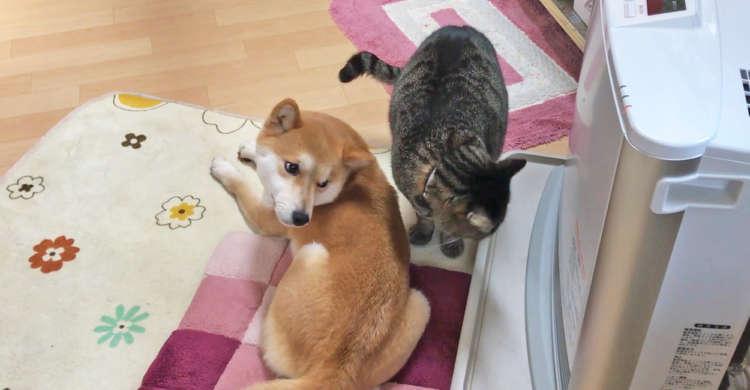 柴犬がストーブ前でぬくぬく♪ → そこへニャンコが割って入ってきた! 仁義なき争奪戦が今、始まる!?