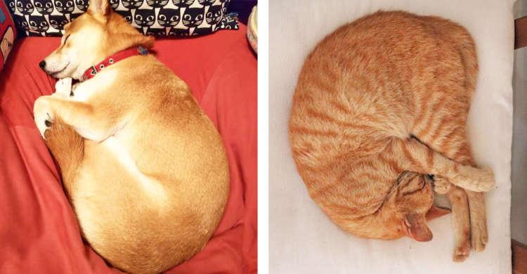 お家の中でミジンコ発見☆ ワンニャンたちがくるっと丸まって眠る「ミジンコ寝」写真集(*´艸`) 8枚