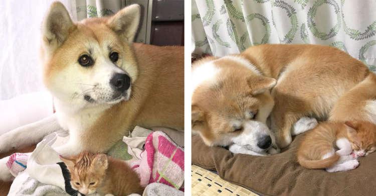 子猫の新しいママは秋田犬♪ 子どもたちを包む、母性あふれる姿に心があったかくなる。(7枚)
