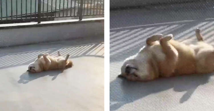 【振り返れば奴がいた】ふと後ろを向くと、そこには驚きのポーズで日光浴する愛犬の姿が…(゚A゚;)!!