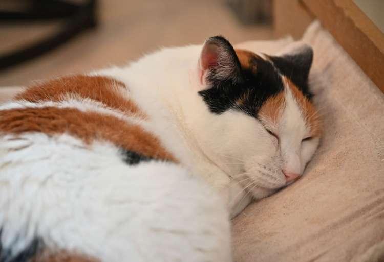 -25℃の極寒で拾われた三毛猫の凛は添い寝が好き