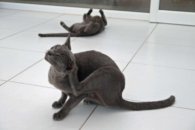 グレーの毛並みが美しいコラート種の猫たち