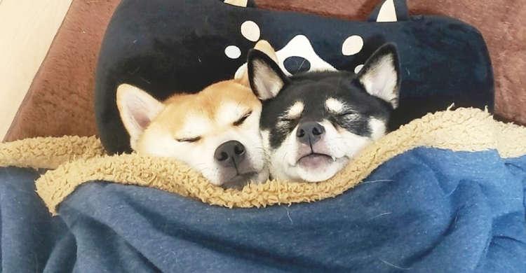 【仲良くスヤスヤ】寄り添ってくつろぐ柴犬たちに、毛布をかけてあげた結果 → あっという間に…♪ 5枚
