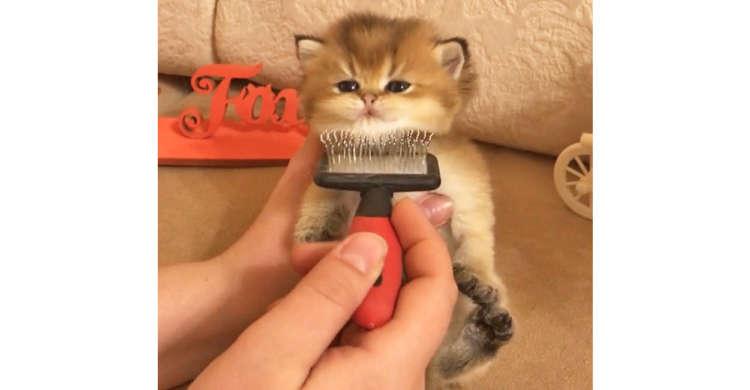 ブラッシングに満足気な子猫ちゃん。ぬいぐるみのような可愛さに、ハートを射抜かれるーッ(〃ω〃)♡