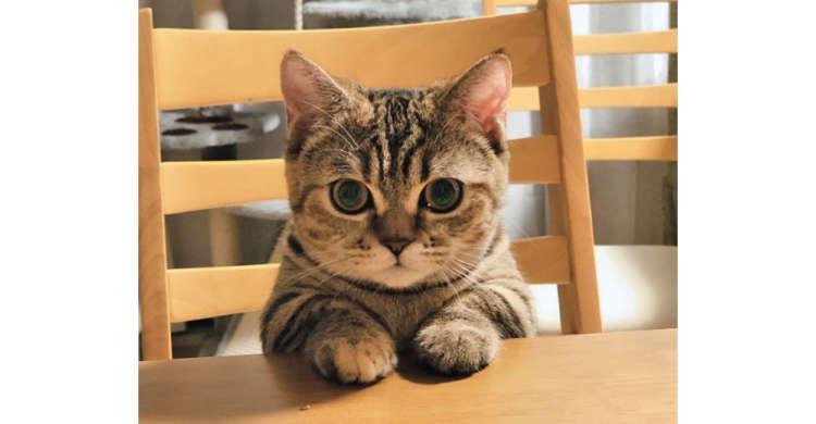 「お腹グーグーだにゃ〜」テーブルに手をつき、いい子にしてご飯を待つニャンコが話題に♪