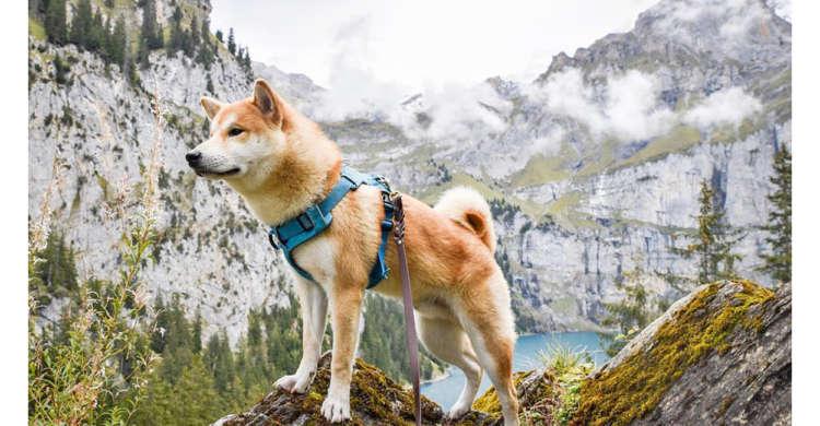 スイスの大自然の中で、生き生きと過ごす柴犬さん! 絵になる、その姿に…心うばわれる写真集♪ 9枚