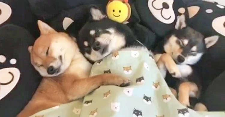 ぬくぬく感と幸せに包まれた3匹の柴犬。仲良く気持ちよさそうと眠る様子に、心あったまる(*´ェ`*)