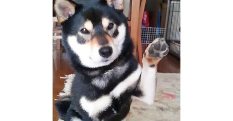 「おやつ欲しいひと?」と聞かれると、黒柴くんの手がスッ…! 分かりやすすぎるアピールが可愛かった♪