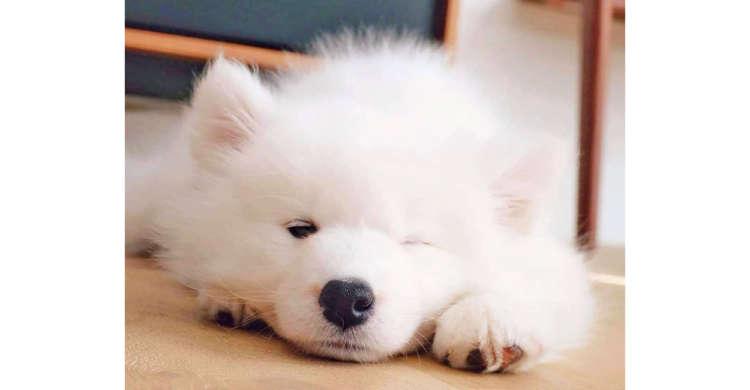 片目を可愛くパチり♪ サモエドの子犬ちゃんが見せた仕草に…やられましたっ♡(3枚)