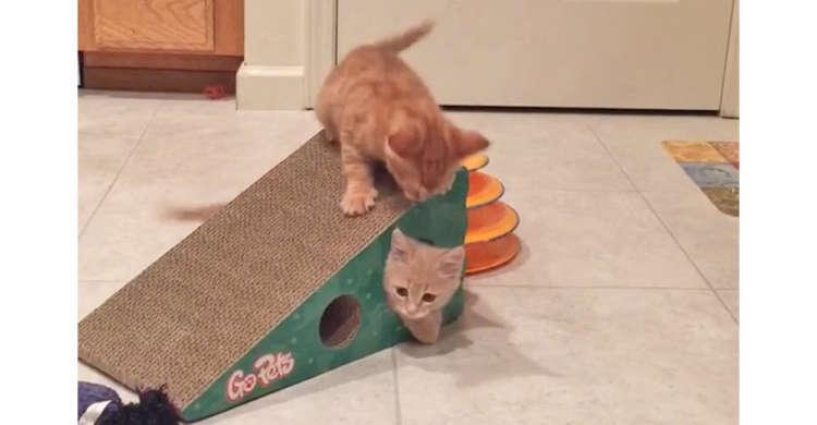 トンネルを使った激しい遊びがスタート☆ 子猫たちの無邪気なわちゃわちゃ劇にニヤけちゃう( *´艸`)