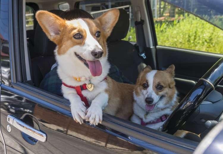 車に乗るのは大好きな2匹。「乗るとリリーは私の膝の上にきてしまいます」そんなわけで、リリーが落ち着くまでこんな感じで待機。ミニーは助手席でおとなしく、車が動くのを待っている。かわいいな。