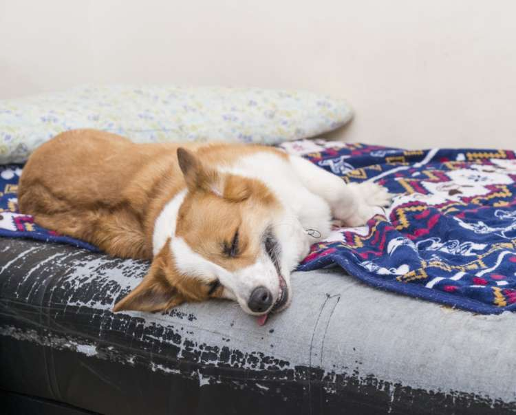 外ではたっぷり遊んで、家ではしっかり休むの が福田家のコギさんのモットー。スタッフと久子さんが話しているうちに、いつの間にか夢の中。お気に入りのベッドから、頭が落ちないよ うに気をつけてね。