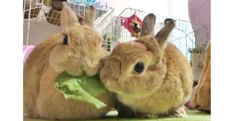 ウサギさんたちによる「葉っぱ争奪戦」が勃発! お互いに何度も取りあう様子が、おもしろ可愛かった♡