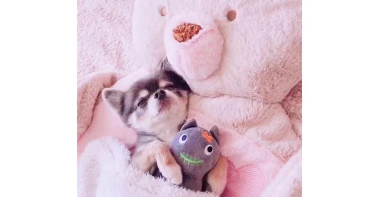 ワンコのそばには「ともだち」とお気に入りのベッド♪ 幸せすぎるウトウトタイム…(´vωv`*)