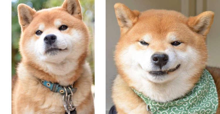【僕こうみえて10歳!】幼い顔つきの柴犬くんが見せる、イキイキとした表情がめちゃカワだった☆ 8枚