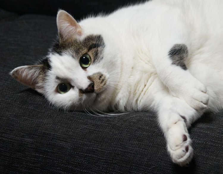 子どもの頃に友人から譲り受けた愛猫「エイト」(推定11歳♂)