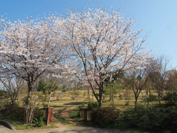 春には、桜色で染まる墓苑