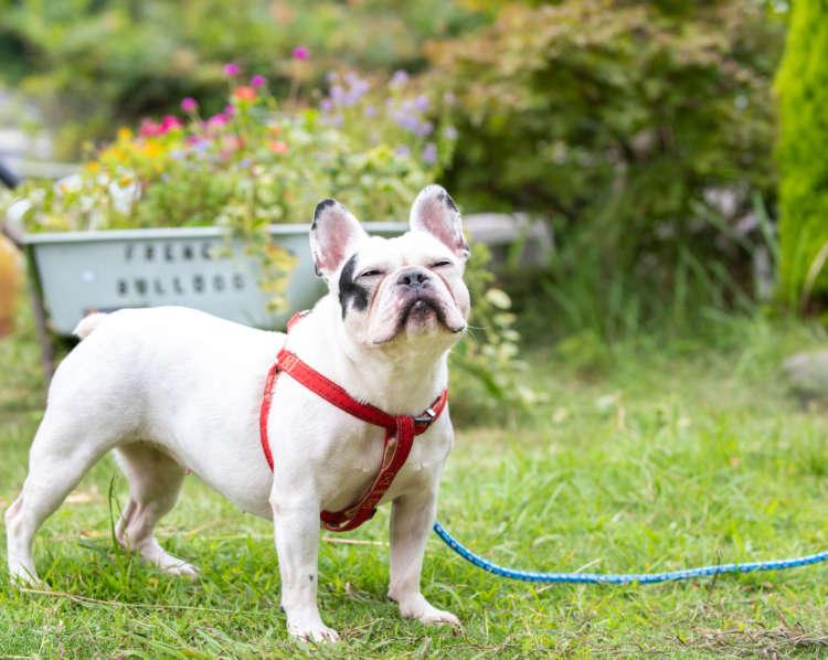 【看板犬として活躍するペチャをご紹介!】The MASCOT PE-CHA