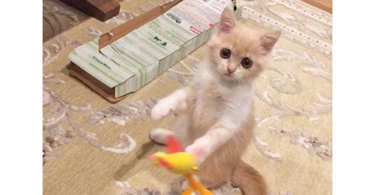 ケリケリや猫パンチが止まらない☆ やんちゃな子猫さんは遊び上手ヾ(*´∀`*)ノ 37秒