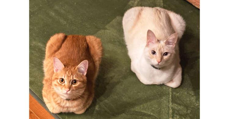 香箱座りをする色違いのニャンコたち。その姿はまるで「焼き立て」と「焼く前」の食パンだった♡ 2枚