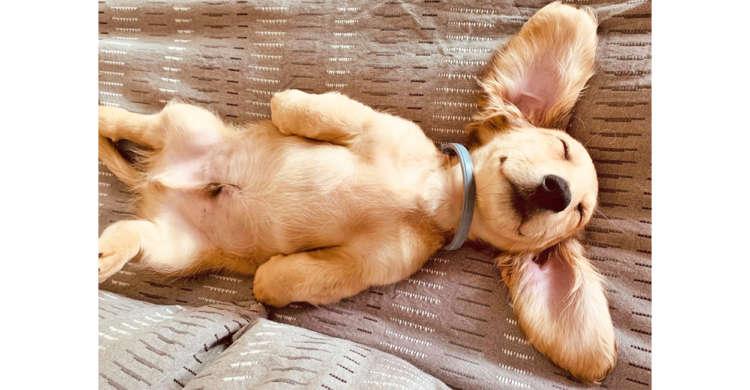 足や耳をひろげ、だら〜んとお昼寝する子犬ちゃん。可愛すぎる寝姿にニヤニヤが止まらないッ♡ 5枚