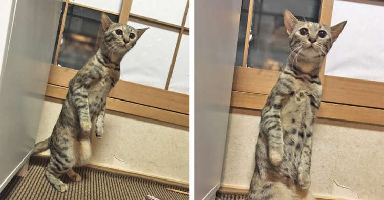 【本当に…猫さん?】背中にファスナーが付いていそうな、驚き姿を見せるニャンコが話題にッ!(4枚)