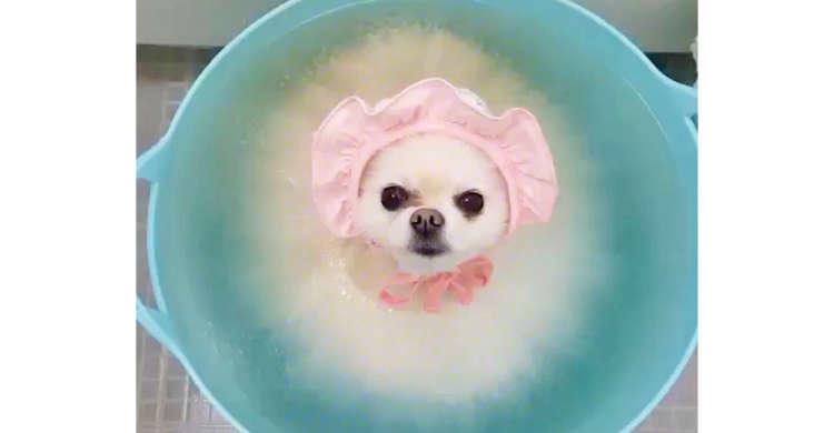 優雅にバスタイムを楽しむポメラニアンさん。お風呂の気持ちよさに、まぶたも重くなっちゃいます…zzZ